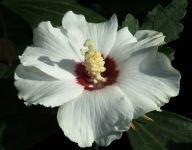 Hibiscus syriacus 'Red Heart'
